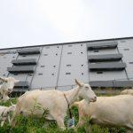 アマゾンの多治見にある倉庫でヤギの活用が本格的に開始!