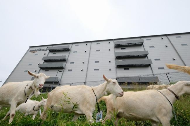 Amazonの倉庫で活躍するヤギ